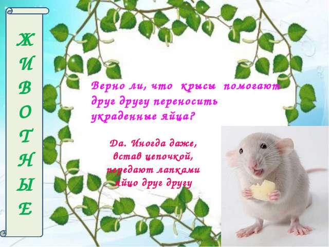 Ж И В О Т Н Ы Е Верно ли, что крысы помогают друг другу переносить украденные...