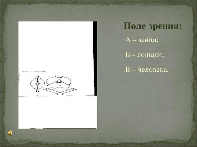 А – зайца; Б – лошади; В – человека. Поле зрения: