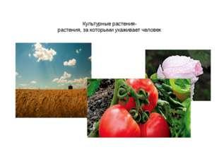 Культурные растения- растения, за которыми ухаживает человек