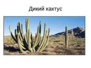 Дикий кактус