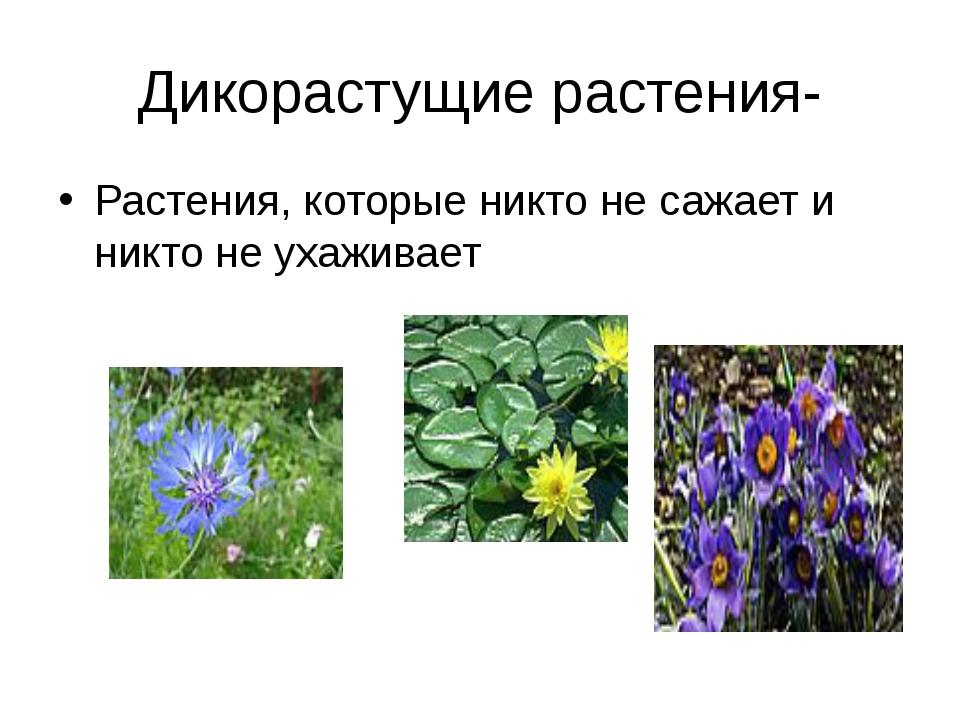 Дикорастущие растения- Растения, которые никто не сажает и никто не ухаживает