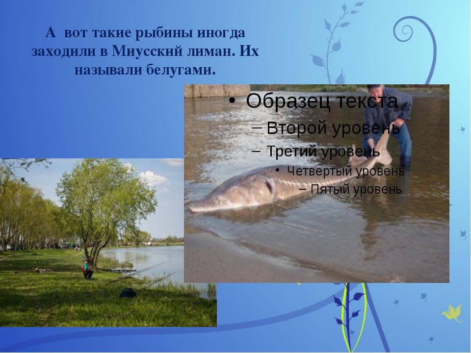 А вот такие рыбины иногда заходили в Миусский лиман. Их называли белугами.