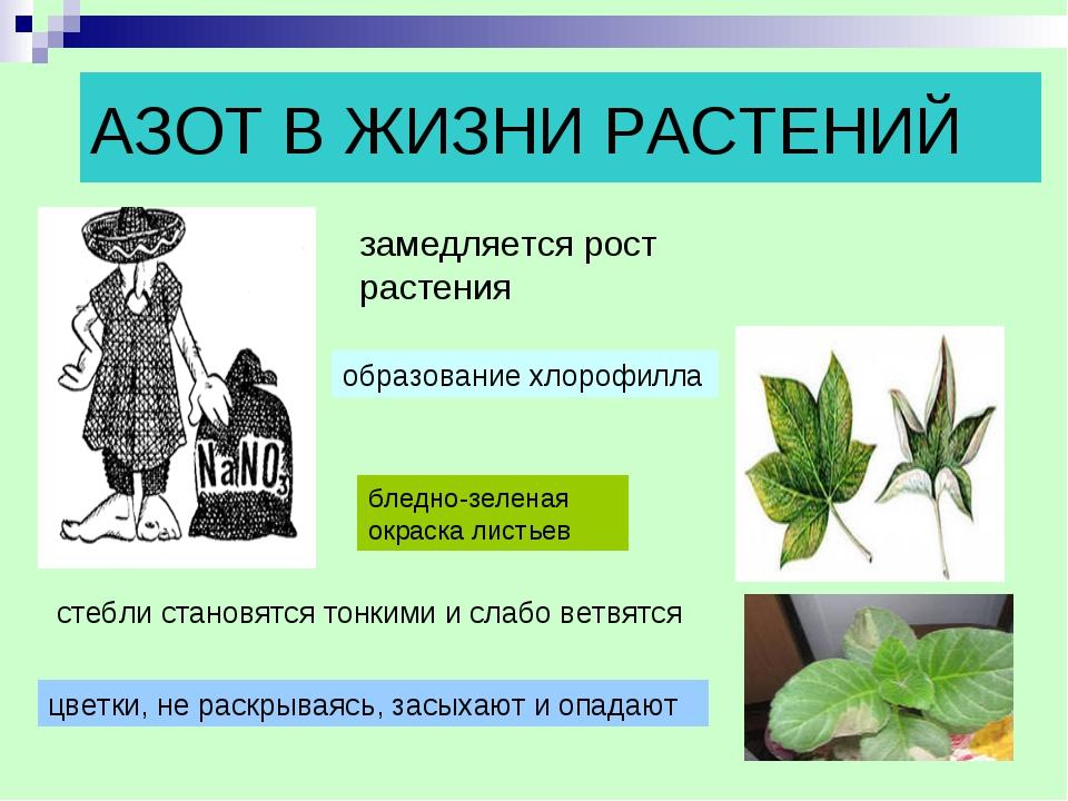 АЗОТ В ЖИЗНИ РАСТЕНИЙ замедляется рост растения образование хлорофилла бледно...