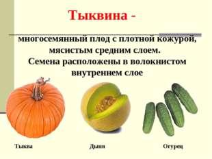 Тыквина - многосемянный плод с плотной кожурой, мясистым средним слоем. Семен