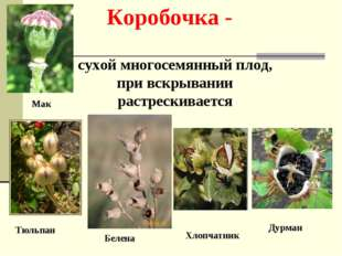 Коробочка - сухой многосемянный плод, при вскрывании растрескивается Тюльпан