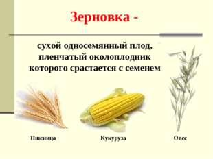 Зерновка - сухой односемянный плод, пленчатый околоплодник которого срастаетс