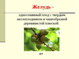 Желудь - Дуб односемянный плод с твердым околоплодником и чашеобразной деревя