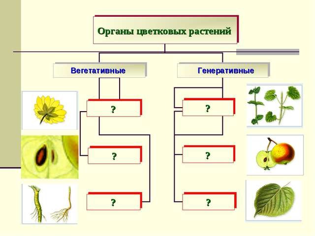 Вегетативные Генеративные