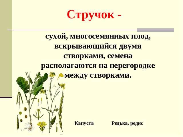 Стручок - сухой, многосемянных плод, вскрывающийся двумя створками, семена ра...