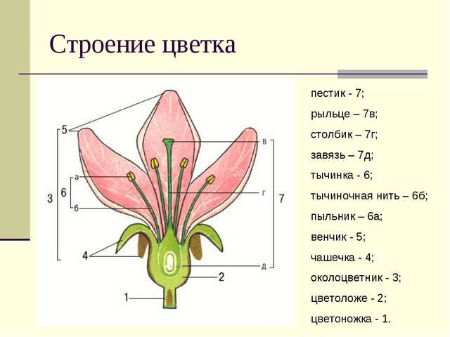 Строение цветка пестик - 7; рыльце – 7в; столбик – 7г; завязь – 7д; тычинка -...