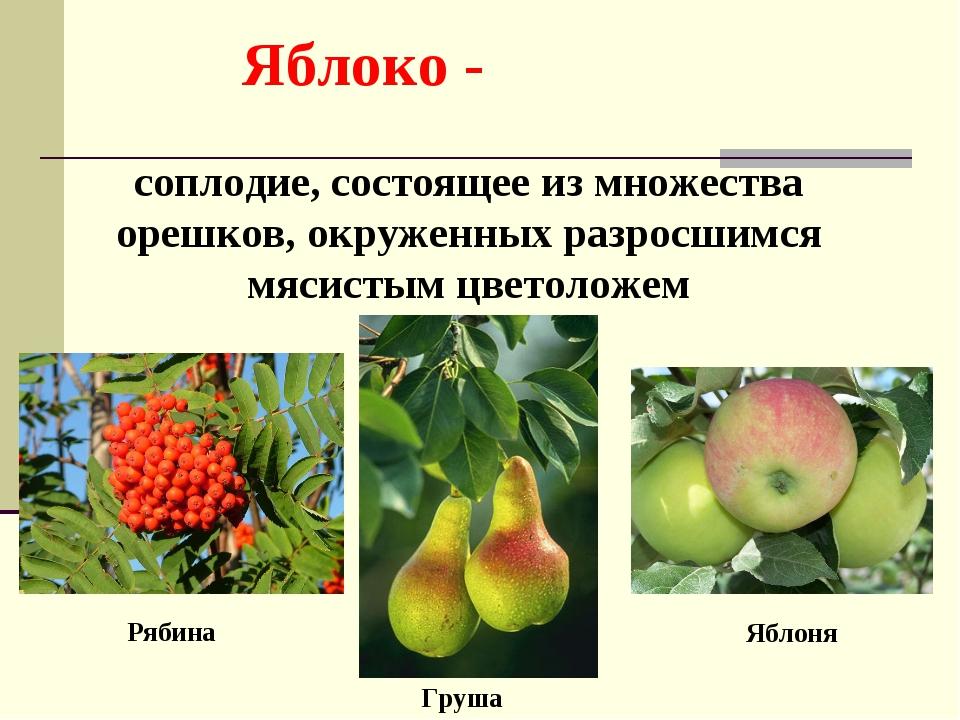 Яблоко - соплодие, состоящее из множества орешков, окруженных разросшимся мя...