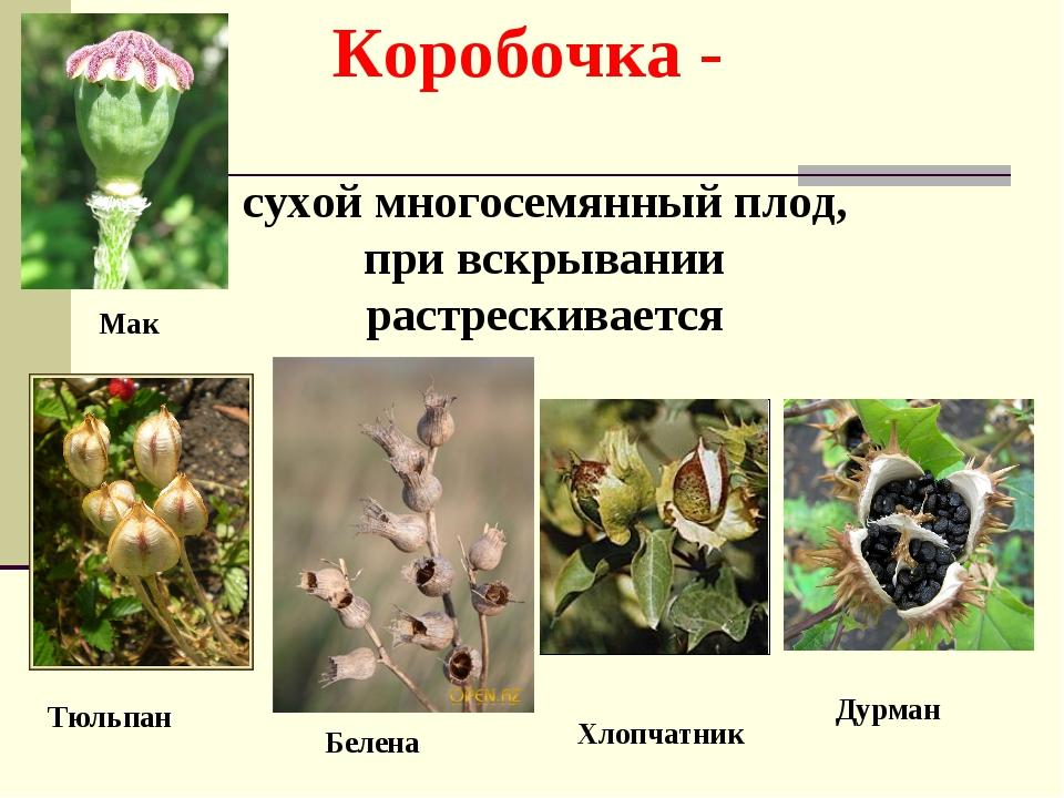 Коробочка - сухой многосемянный плод, при вскрывании растрескивается Тюльпан...