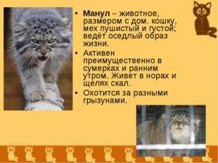 Манул – животное, размером с дом. кошку, мех пушистый и густой; ведёт оседлый