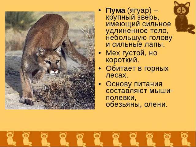 Пума (ягуар) – крупный зверь, имеющий сильное удлиненное тело, небольшую голо...