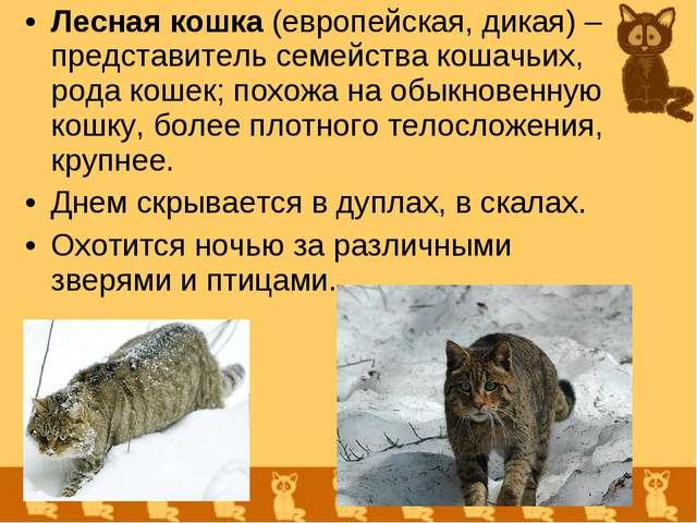 Лесная кошка (европейская, дикая) – представитель семейства кошачьих, рода ко...
