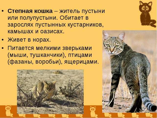 Степная кошка – житель пустыни или полупустыни. Обитает в зарослях пустынных...