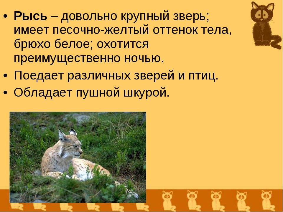 Рысь – довольно крупный зверь; имеет песочно-желтый оттенок тела, брюхо белое...