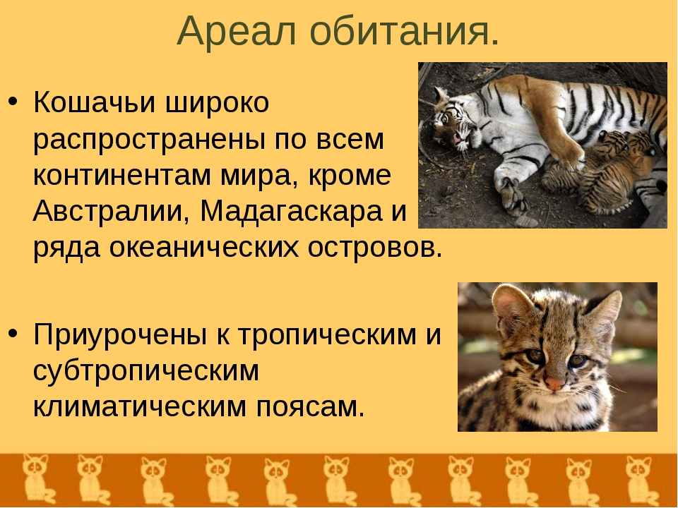 Ареал обитания. Кошачьи широко распространены по всем континентам мира, кроме...