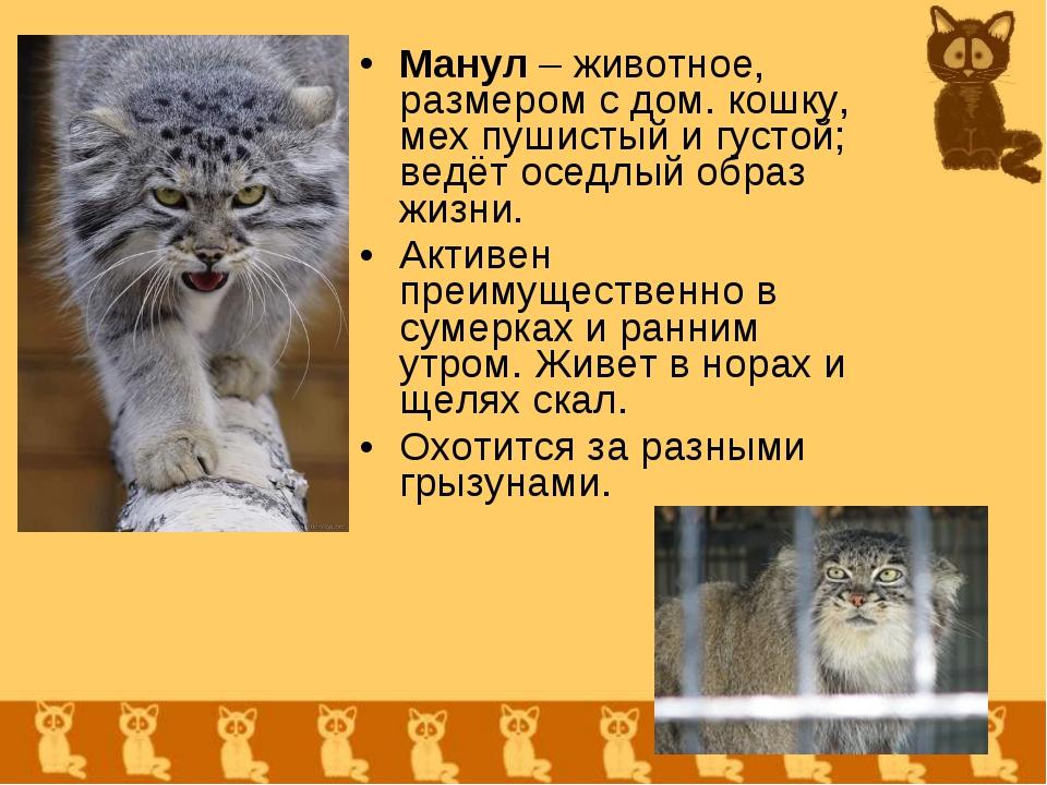 Манул – животное, размером с дом. кошку, мех пушистый и густой; ведёт оседлый...