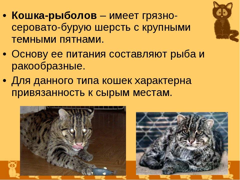 Кошка-рыболов – имеет грязно-серовато-бурую шерсть с крупными темными пятнами...