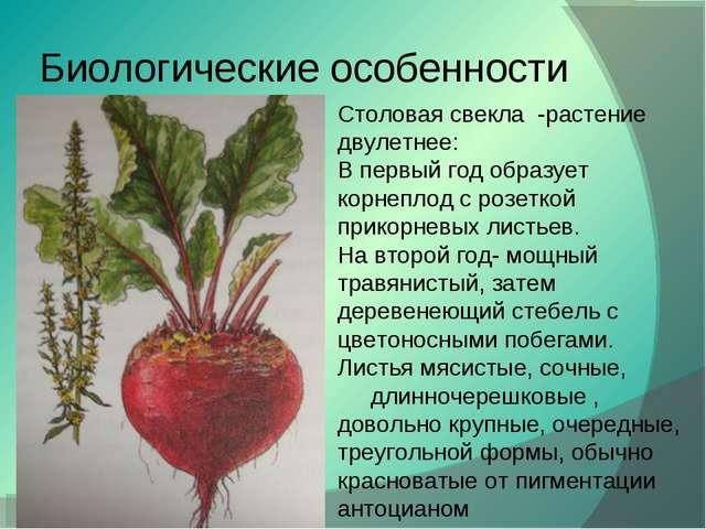 Биологические особенности Столовая свекла -растение двулетнее: В первый год о...