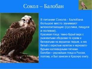 Сокол – Балобан В питании Сокола - Балобана большое место занимают млекопитаю