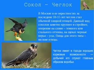 Сокол - Чеглок В Москве и ее окрестностях за последние 10-15 лет чеглок стал