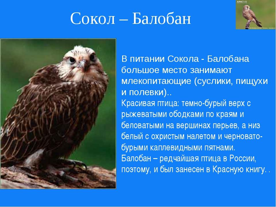 Сокол – Балобан В питании Сокола - Балобана большое место занимают млекопитаю...