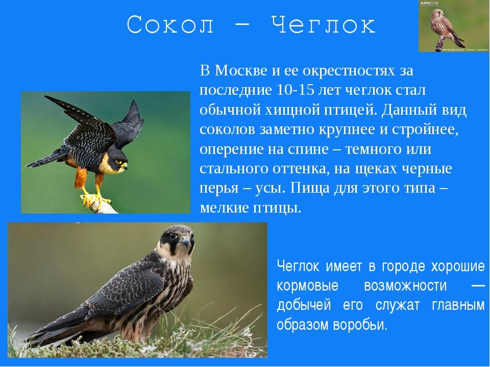 Сокол - Чеглок В Москве и ее окрестностях за последние 10-15 лет чеглок стал...
