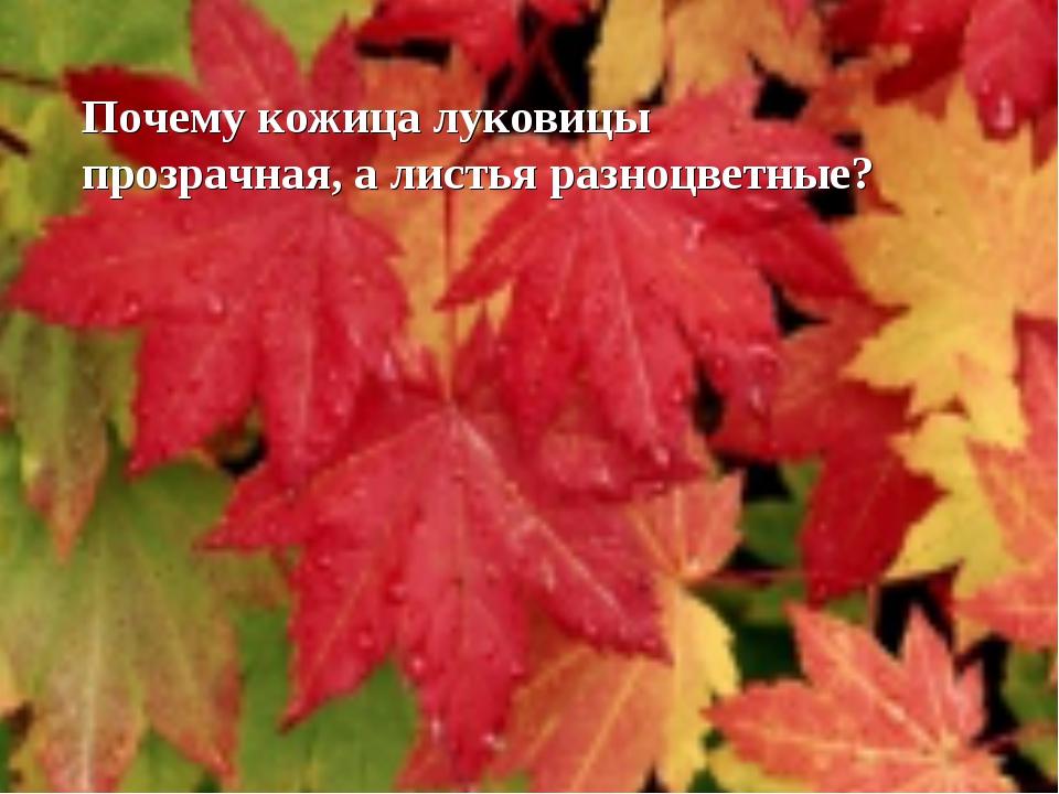 Почему кожица луковицы прозрачная, а листья разноцветные?