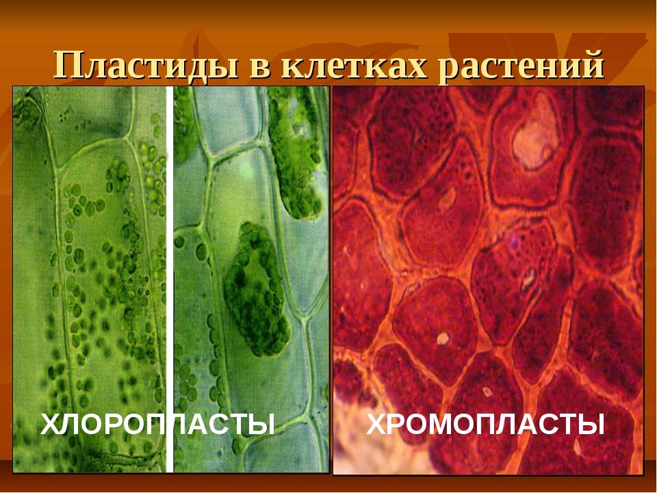 Пластиды в клетках растений ХЛОРОПЛАСТЫ ХЛОРОПЛАСТЫ ХРОМОПЛАСТЫ
