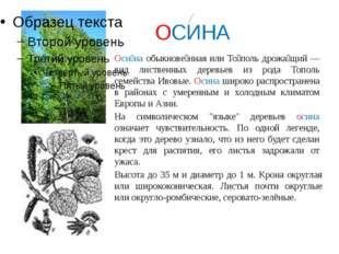 ОСИНА Оси́на обыкнове́нная или То́поль дрожа́щий — вид лиственных деревьев и