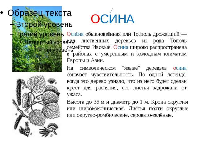 ОСИНА Оси́на обыкнове́нная или То́поль дрожа́щий — вид лиственных деревьев и...