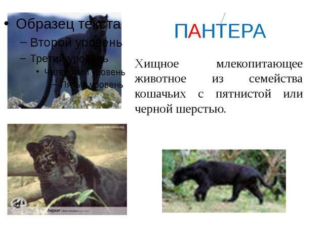 ПАНТЕРА Хищное млекопитающее животное из семейства кошачьих с пятнистой или...