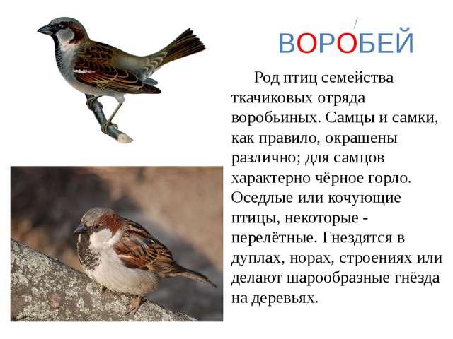 ВОРОБЕЙ Род птиц семейства ткачиковых отряда воробьиных. Самцы и самки, как...