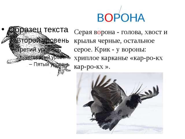 ВОРОНА Серая ворона - голова, хвост и крылья черные, остальное серое. Крик -...