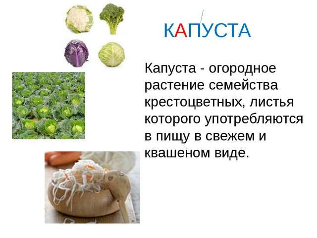 КАПУСТА Капуста - огородное растение семейства крестоцветных, листья которог...