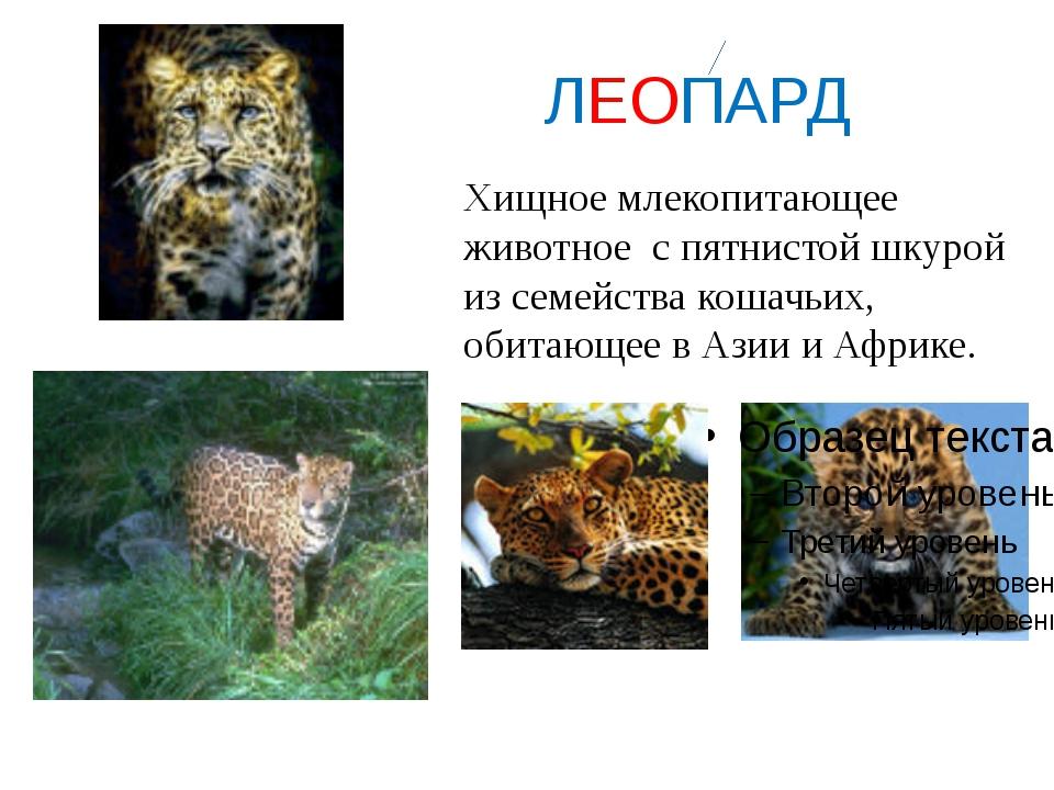 ЛЕОПАРД Хищное млекопитающее животное с пятнистой шкурой из семейства кошачь...