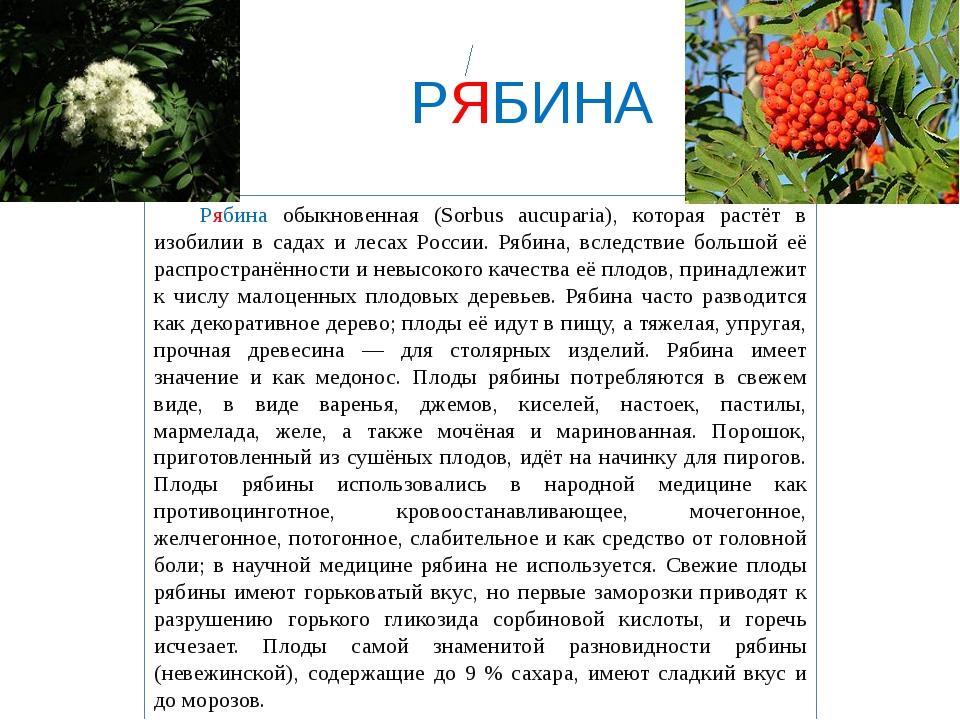 РЯБИНА Рябина обыкновенная (Sorbus aucuparia), которая растёт в изобилии в...