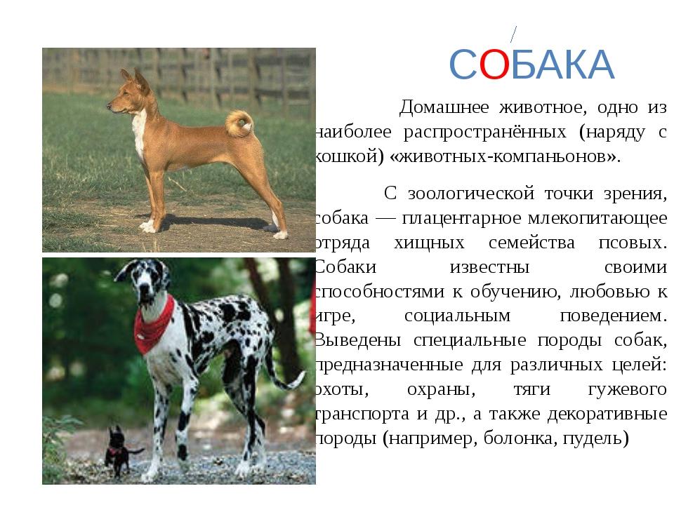 СОБАКА Домашнее животное, одно из наиболее распространённых (наряду с кошкой...