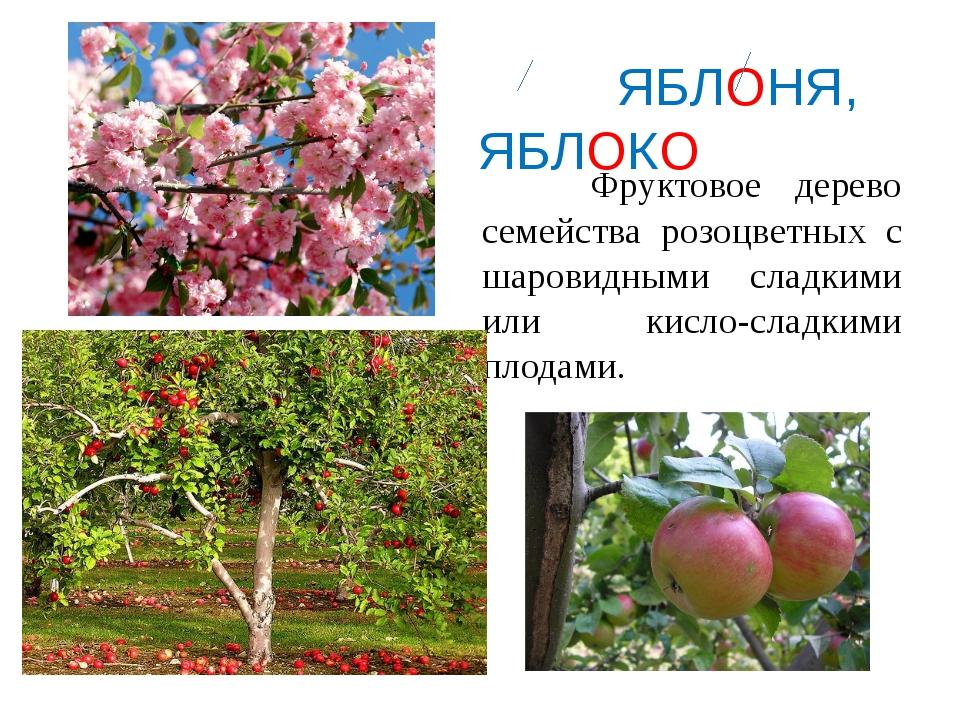 ЯБЛОНЯ, ЯБЛОКО Фруктовое дерево семейства розоцветных с шаровидными сладкими...