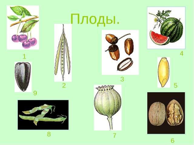 Плоды. 1 2 3 4 5 6 7 8 9