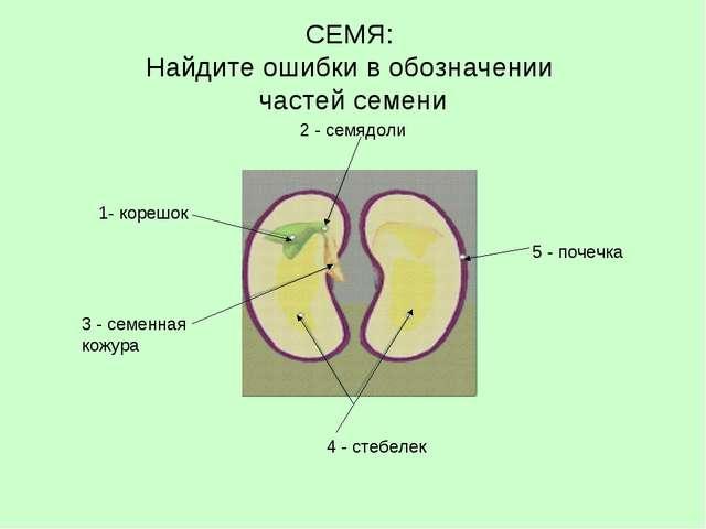 СЕМЯ: Найдите ошибки в обозначении частей семени 2 - семядоли 1- корешок 3 -...