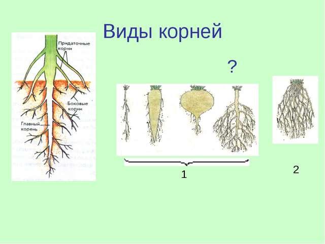 Виды корней 1 2 ?