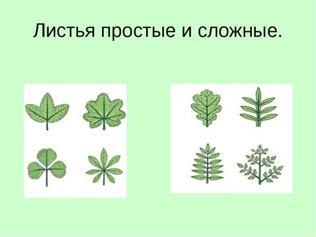 Листья простые и сложные.