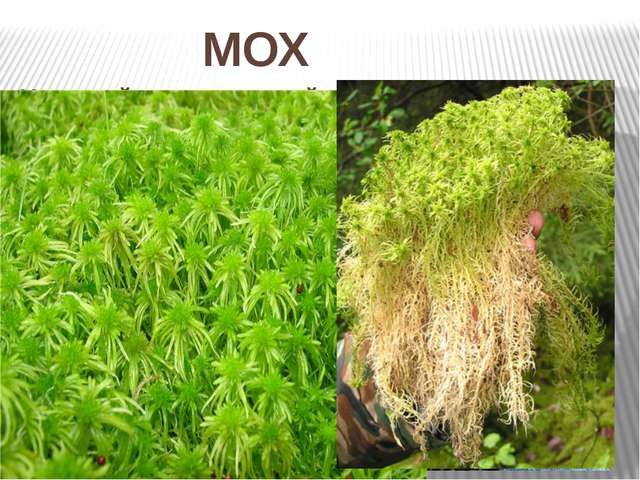 Хороший перевязочный материал. Нет настоящих корней и цветков. Растёт в сухи...