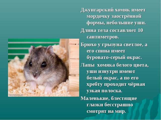 Джунгарский хомяк имеет мордочку заострённой формы, небольшие уши. Длина тела...