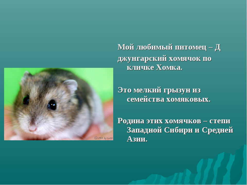Мой любимый питомец – Д джунгарский хомячок по кличке Хомка. Это мелкий грызу...