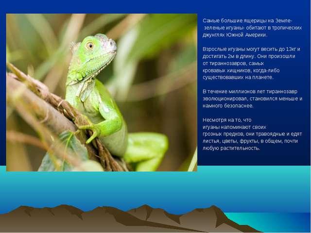 Самые большие ящерицы на Земле- зеленые игуаны- обитают в тропических джунгля...