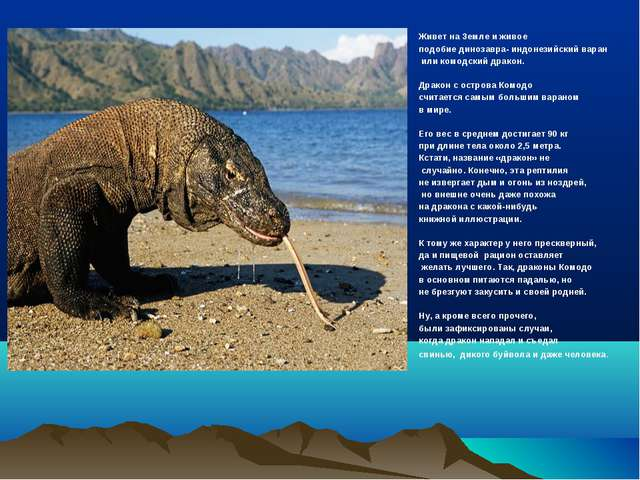 Живет на Земле и живое подобие динозавра- индонезийский варан или комодский д...